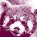 Middle Red Panda
